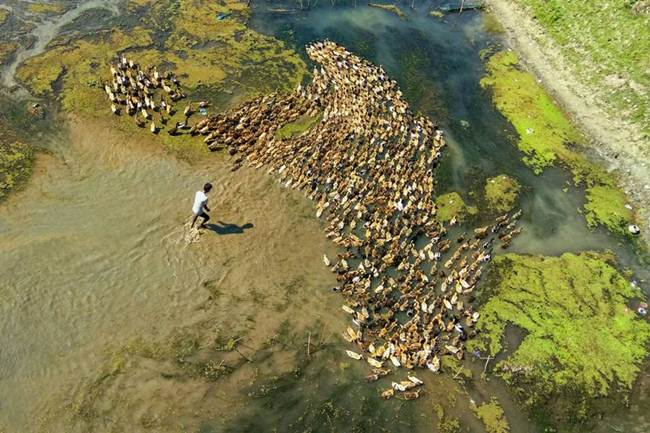 Aerial-Footage-of-Hundreds-of-Ducks-Gudsol-009