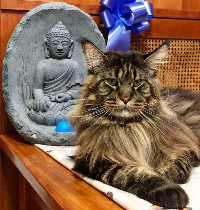 Meet this Barivel! Maine Coon from the Italian city of Vigevano