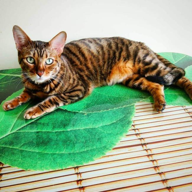10_Toyger_Cat