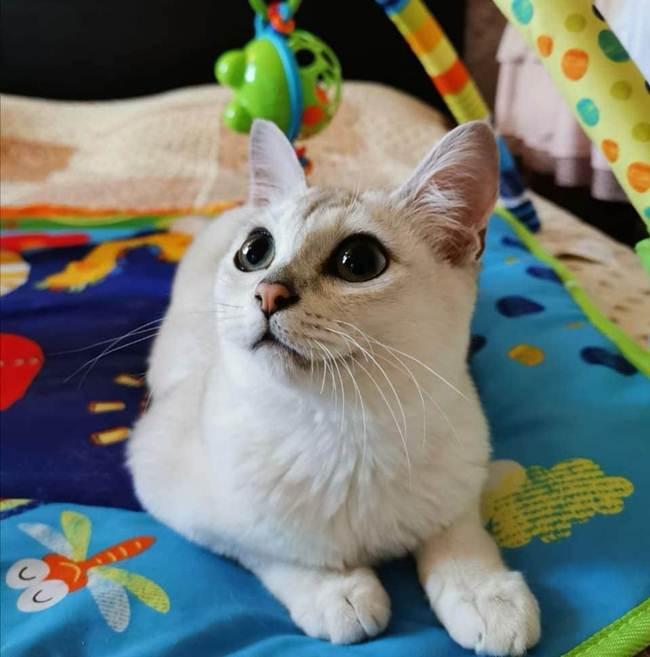 12_Burmila_Cat