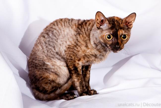 14_Ural_Rex_Cat