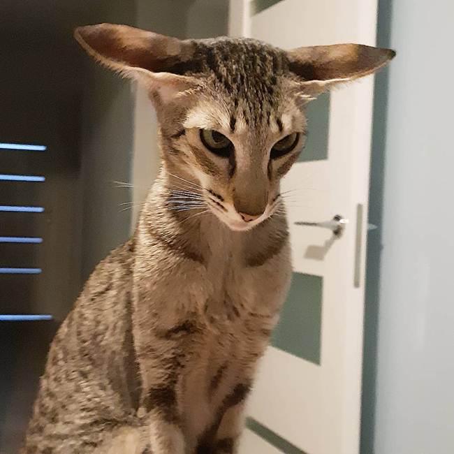 15_Oriental_Cat