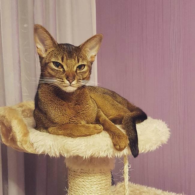17_Abyssinian_Cat