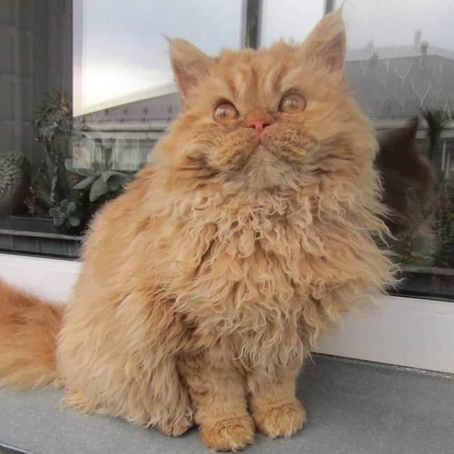 18_Selkirk_Rex_Cat