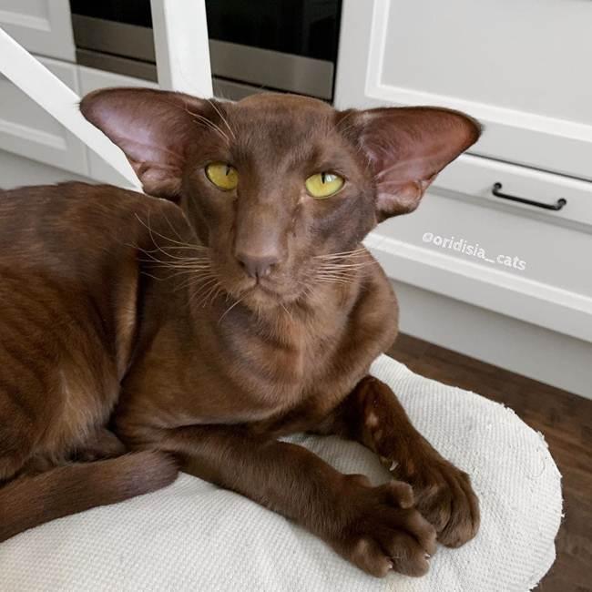7_Havana_Cat